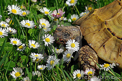 Tortoise and Daisies  #2