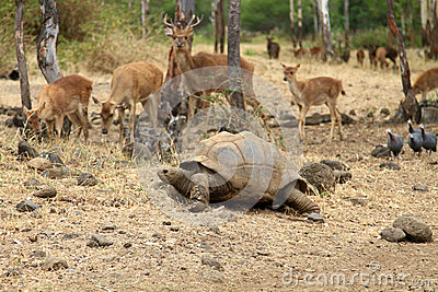 Tortoise and deers