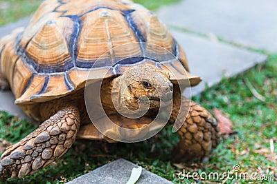Tortoise Golden