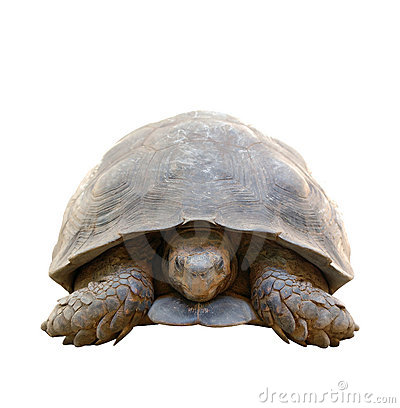 Tortoise isolated