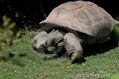 Tortoise (land turtle)