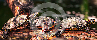 Tortoise on the log