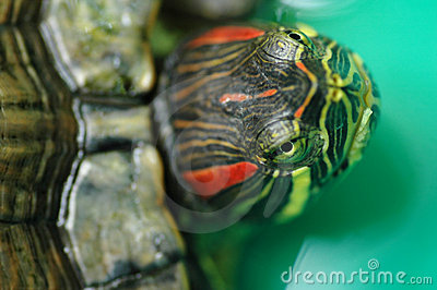 Tortoise Red-eared Sliders