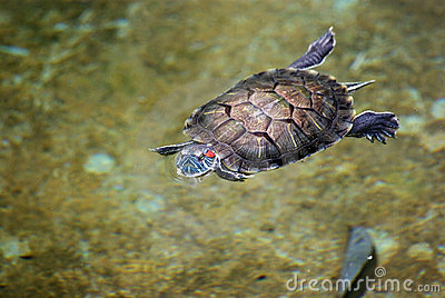Tortoise swimming in water