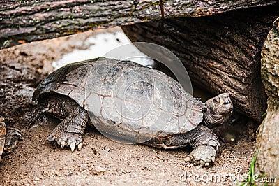 Tortoise under woods
