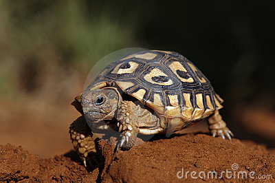 A tortoise walking