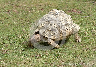 Tortoise Walking