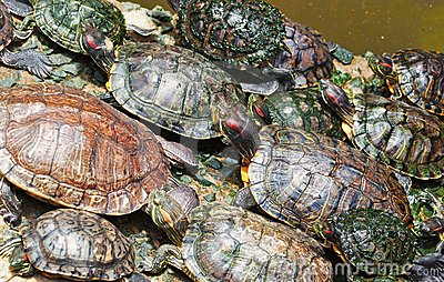 Tortoises crowded together