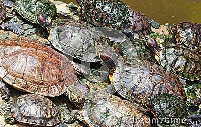 Tortoises crowded together