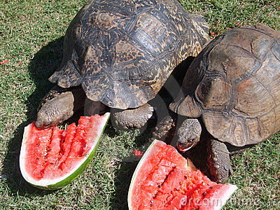 Tortoises eating watermelon