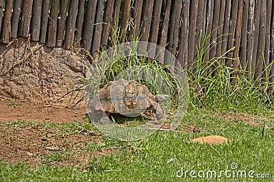 Tortoises move slowly in JHB zoo