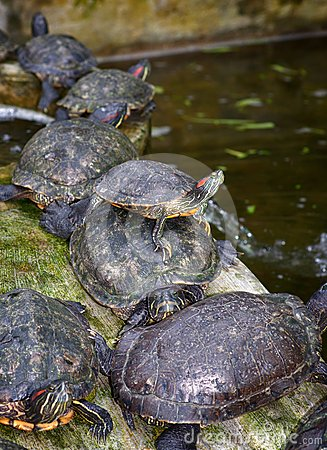 Tortoises on waters edge