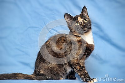 Tortoiseshell cat
