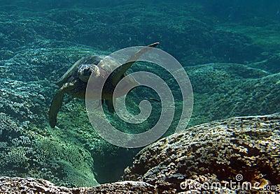 Tortue de mer verte sous-marine