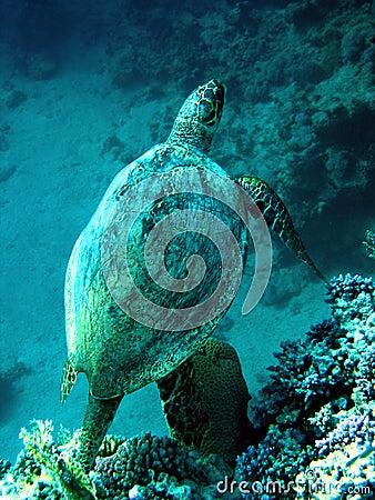Tortuga de mar del necio
