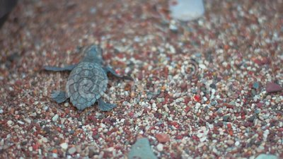 Tortuga del bebé que se arrastra en la arena de la playa hacia el mar Tuttle que se arrastra a lo largo de la costa almacen de metraje de vídeo