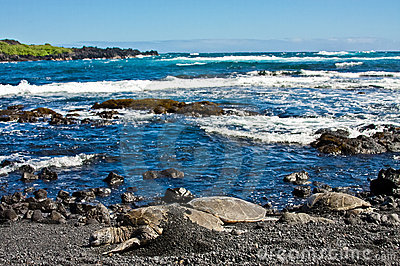 Tortugas de mar verde en la playa negra de la arena