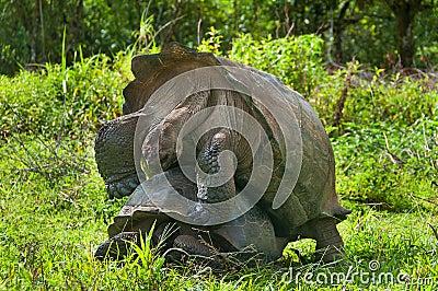 Tortugas gigantes de acoplamiento foto de archivo imagen for Accoppiamento tartarughe