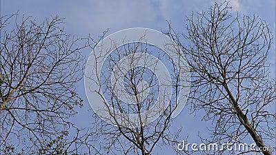 Toter Baum und Wolke auf blauem Himmel Zeitraffer stock video