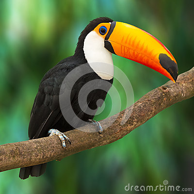 Free Toucan Stock Image - 31455101