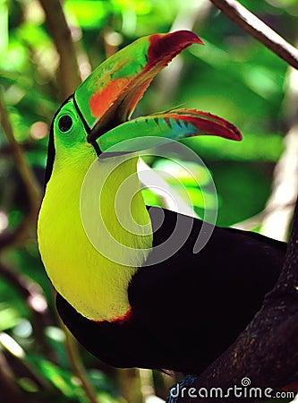 Toucan with beak open