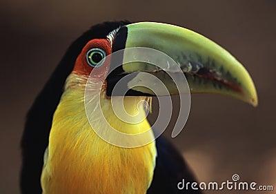 Toucan in Brazil