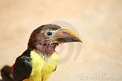 Toucan chick