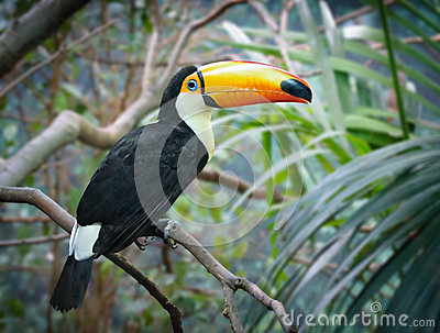 Toucan in a jungle