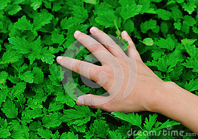 Touch motherwort herb