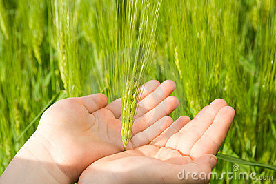 Touching wheat