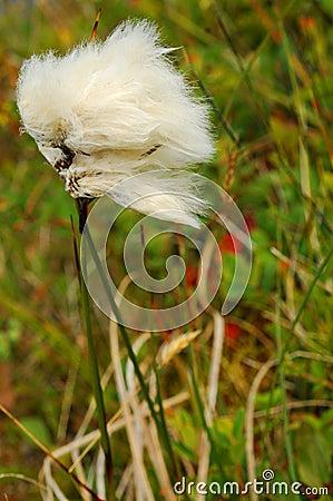 Touffe arctique de coton