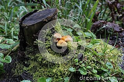Touffe de soufre - fasciculare de Hypholoma