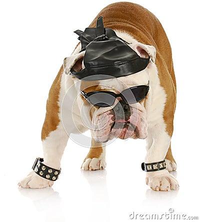 Free Tough Biker Dog Royalty Free Stock Photo - 17574935