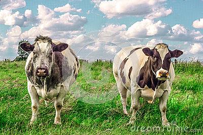2 tough cows in the meadow