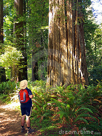 Tourist admiring giant Sequoia tree
