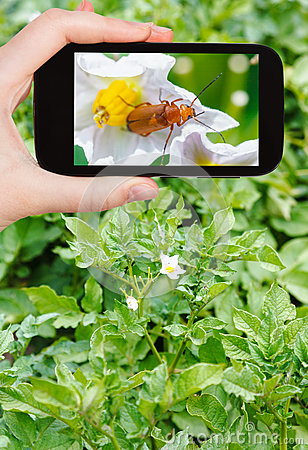 Free Tourist Takes Picture Of Potato Flowers On Field Royalty Free Stock Image - 57439606