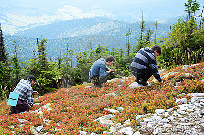 Tourists picking berries in the slope.