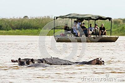 Tourists watching hippos Editorial Photo