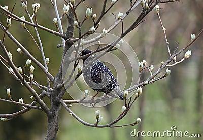 Étourneau sur la branche de l arbre