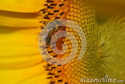 Tournesol avec l abeille