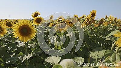Tournesols dans un champ pendant les chaudes journées d'été - montée des caméras banque de vidéos