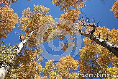 Towering Aspen Fall Colors