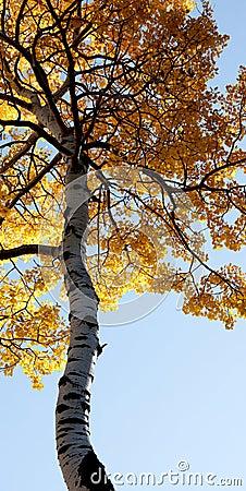 Towering autumn tree