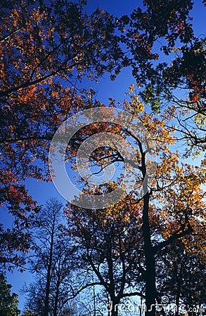 Towering Autumn Treetops