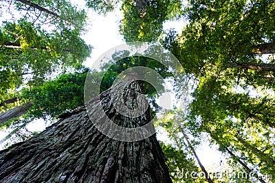 Towering California Redwood trees