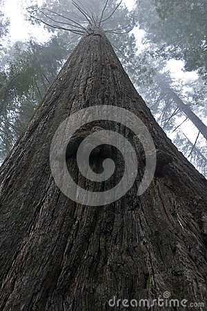 Towering Redwood Tree