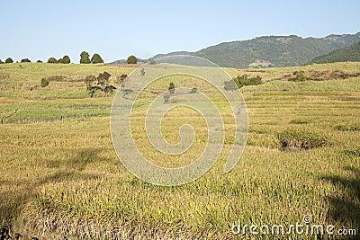 Towering Sugar Cane Fields