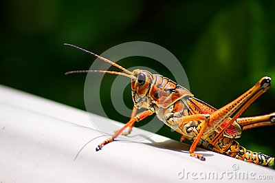 Toxic orange eastern lubber grasshopper
