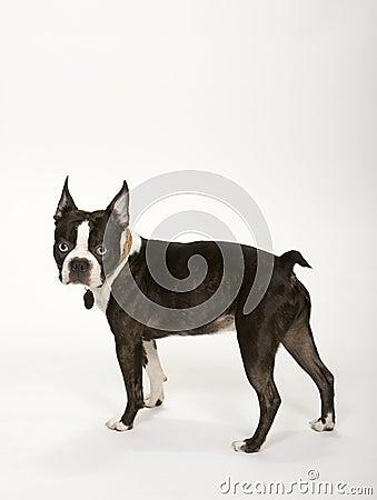 Free Toy Boston Terrier Royalty Free Stock Photos - 4934828