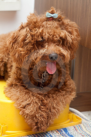 Toy Poodle with  blue ribbon